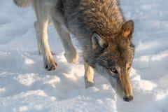 Ο γκρίζος Λύκος Canis λύκων περπατά τον μπροστινό χειμώνα στοκ φωτογραφίες