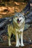 Ο γκρίζος Λύκος Canis λύκων που στέκεται στο δάσος Στοκ Εικόνα