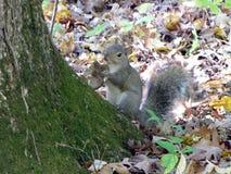 Ο γκρίζος σκίουρος τρώει ένα μανιτάρι Στοκ φωτογραφία με δικαίωμα ελεύθερης χρήσης