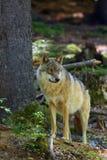 Ο γκρίζος λύκος ή γκρίζος λύκος που στέκεται στο δάσος Στοκ Εικόνα