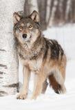Ο γκρίζος λύκος (Λύκος Canis) δίπλα στη σημύδα ανατρέχει Στοκ εικόνες με δικαίωμα ελεύθερης χρήσης