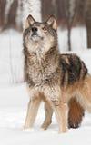 Ο γκρίζος λύκος (Λύκος Canis) ανατρέχει τρόπος Στοκ Φωτογραφίες