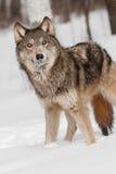 Ο γκρίζος λύκος (Λύκος Canis) ανατρέχει Στοκ Εικόνες