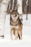 Ο γκρίζος λύκος (Λύκος Canis) ανατρέχει Στοκ φωτογραφία με δικαίωμα ελεύθερης χρήσης