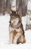Ο γκρίζος λύκος (Λύκος Canis) κάθεται να φανεί αριστερός Στοκ Φωτογραφία