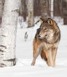 Ο γκρίζος λύκος (Λύκος Canis) περπατά γύρω από το δέντρο σημύδων Στοκ Εικόνες