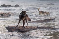 Ο γκρίζος λύκος (Λύκος Canis) προσέχει ενώ άλλος καταβρέχει πίσω Στοκ Εικόνα