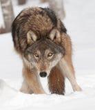 Ο γκρίζος λύκος (Λύκος Canis) σκάβει στο χιόνι Στοκ Εικόνες