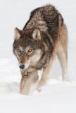 Ο γκρίζος λύκος (Λύκος Canis) σκάβει στο χιόνι Στοκ φωτογραφίες με δικαίωμα ελεύθερης χρήσης