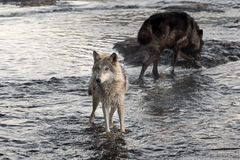 Ο γκρίζος λύκος (Λύκος Canis) φαίνεται αριστερός από τον ποταμό Στοκ φωτογραφίες με δικαίωμα ελεύθερης χρήσης