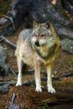 Ο γκρίζος λύκος που στέκεται στο δάσος Στοκ εικόνες με δικαίωμα ελεύθερης χρήσης