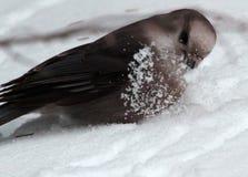 Ο γκρίζος Jay που παίζει την άνοιξη το χιόνι Στοκ φωτογραφία με δικαίωμα ελεύθερης χρήσης
