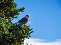 Ο γκρίζος Jay στο δέντρο Στοκ εικόνες με δικαίωμα ελεύθερης χρήσης
