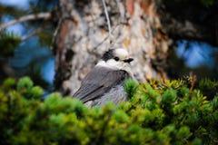 Ο γκρίζος Jay (canadensis Perisoreus) Στοκ εικόνες με δικαίωμα ελεύθερης χρήσης