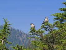 Ο γκρίζος Jay (canadensis Perisoreus) Στοκ Εικόνες