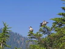Ο γκρίζος Jay (canadensis Perisoreus) Στοκ φωτογραφίες με δικαίωμα ελεύθερης χρήσης
