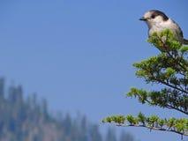 Ο γκρίζος Jay (canadensis Perisoreus) Στοκ φωτογραφία με δικαίωμα ελεύθερης χρήσης