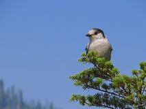 Ο γκρίζος Jay (canadensis Perisoreus) Στοκ Εικόνα