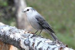 Ο γκρίζος Jay (canadensis Perisoreus) Στοκ Φωτογραφία