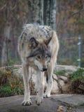 Ο γκρίζο Λύκος λύκων †«Canis Στοκ φωτογραφία με δικαίωμα ελεύθερης χρήσης