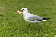 Ο γλάρος έκλεψε ένα κομμάτι του ψωμιού Στοκ Φωτογραφία