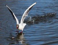 Ο γλάρος κατεβαίνει στη λίμνη Στοκ εικόνες με δικαίωμα ελεύθερης χρήσης