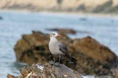 Ο γλάρος Heermann ` s εσκαρφάλωσε στο βράχο κοντά στον ωκεανό στο Λαγκούνα Μπιτς, Καλιφόρνια Στοκ εικόνα με δικαίωμα ελεύθερης χρήσης