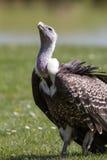 Ο γύπας είδους απειλούμενου με εξαφάνιση ανατρέχει με την ελπίδα Οδυνηρή άγρια φύση τ στοκ εικόνα με δικαίωμα ελεύθερης χρήσης