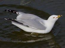 Ο γλάρος με την τρελλή θέα πίνει το νερό Στοκ Εικόνες