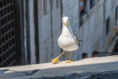 Ο γλάρος που στέκεται, θέτει και που κοιτάζει στη κάμερα σε έναν φράκτη brige πέρα από τα κύματα καναλιών Στοκ Φωτογραφία