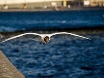 Ο γλάρος Στοκ Φωτογραφία