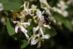 Ο διακοσμητικός Μπους που ανθίζει με τα άσπρα και ρόδινα λουλούδια στοκ φωτογραφίες