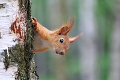 Ο διασκεδάζοντας κόκκινος σκίουρος κοιτάζει έξω λόγω ενός δέντρου Στοκ Φωτογραφία
