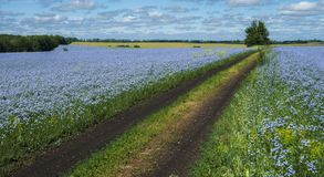 Ο δρόμος που περνά από τους τομείς του ανθίζοντας λιναριού στοκ φωτογραφίες με δικαίωμα ελεύθερης χρήσης