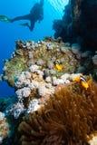 Ο δύτης ΣΚΑΦΑΝΔΡΩΝ εξετάζει ένα ζευγάρι Clownfish Στοκ φωτογραφία με δικαίωμα ελεύθερης χρήσης