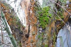 Ο εγκαταλειμμένος κήπος δέντρο μανιταριών Εδώδιμο μανιτάρι στρειδιών μανιταριών Ανάπτυξη μανιταριών σε ένα καταρριφθε'ν δέντρο Μη Στοκ Εικόνα