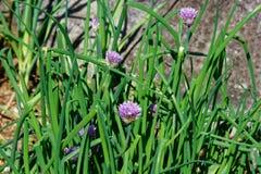 Ο εγχώριος κήπος με τα πράσινα φρέσκα κρεμμύδια και τα πορφυρά λουλούδια στοκ φωτογραφία με δικαίωμα ελεύθερης χρήσης