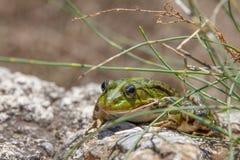 Ο εδώδιμος βάτραχος Pelophylax kl esculentus στοκ εικόνες με δικαίωμα ελεύθερης χρήσης