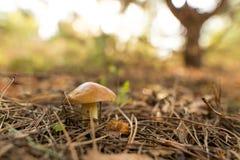 Ο εδώδιμος μύκητας αυξάνεται στα ξύλα στοκ εικόνα