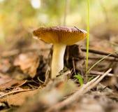 Ο εδώδιμος μύκητας αυξάνεται στα ξύλα στοκ φωτογραφία