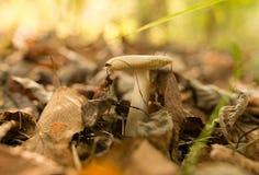 Ο εδώδιμος μύκητας αυξάνεται στα ξύλα στοκ εικόνα με δικαίωμα ελεύθερης χρήσης