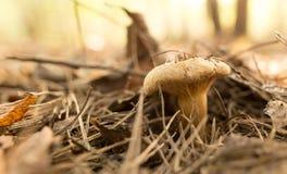 Ο εδώδιμος μύκητας αυξάνεται στα ξύλα στοκ εικόνες με δικαίωμα ελεύθερης χρήσης
