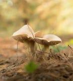 Ο εδώδιμος μύκητας αυξάνεται στα ξύλα στοκ φωτογραφία με δικαίωμα ελεύθερης χρήσης
