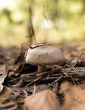 Ο εδώδιμος μύκητας αυξάνεται στα ξύλα στοκ εικόνες