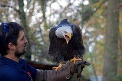 Ο εκπαιδευμένος φαλακρός αετός κάθεται στο βραχίονα και τις κλήσεις του χειριστή του με το ανοικτό ράμφος στοκ εικόνες
