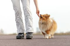Ο εκπαιδευτής σκυλιών δίνει σε ένα τσοπανόσκυλο Shetland μια απόλαυση στοκ εικόνες