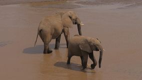 Ο ελέφαντας δύο στην τρύπα ποτίσματος είναι στο λασπώδη ποταμό και το πόσιμο νερό απόθεμα βίντεο