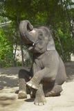 ο ελέφαντας θέτει Στοκ Εικόνες