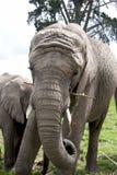 Ο ελέφαντας μητέρων τρώει όπως ο ελέφαντας μωρών στέκεται εκτός από Στοκ φωτογραφία με δικαίωμα ελεύθερης χρήσης