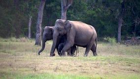Ο ελέφαντας μωρών περιβάλλεται από τους γονείς καθώς περπατούν απόθεμα βίντεο